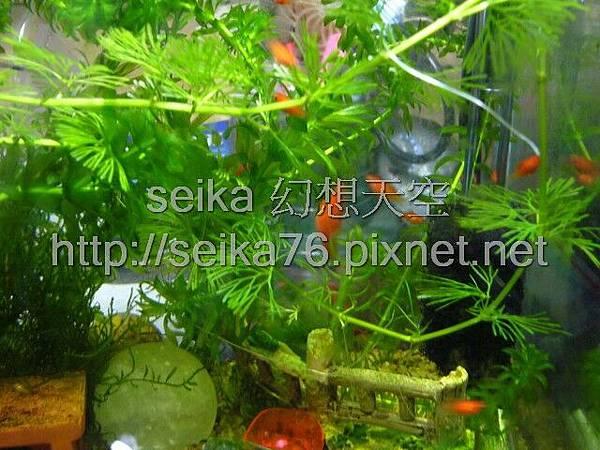 2008_06_07第二批小魚誕生_007