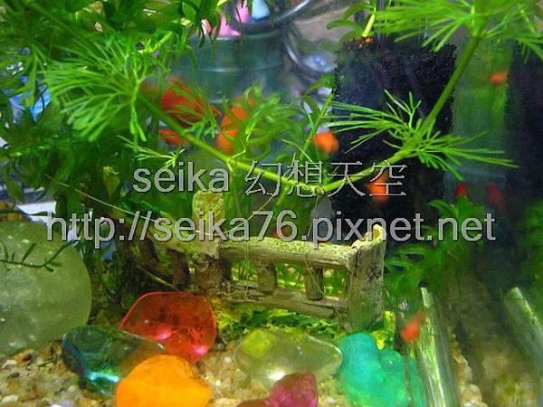 2008_06_07第二批小魚誕生_005