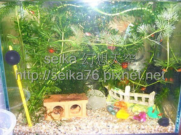 2008_06_07第二批小魚誕生_009