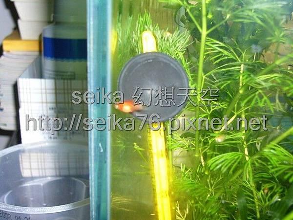 2008_06_07第二批小魚誕生_011