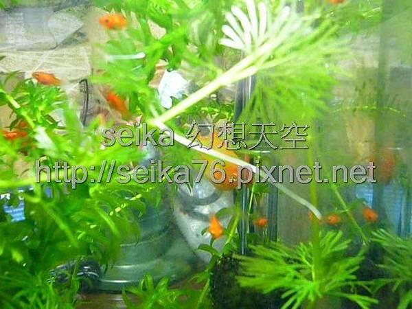 2008_06_07第二批小魚誕生_018