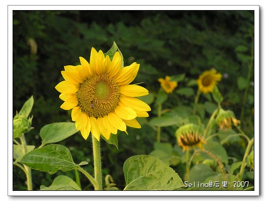 向日葵2.jpg