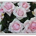 玫瑰花特寫.jpg