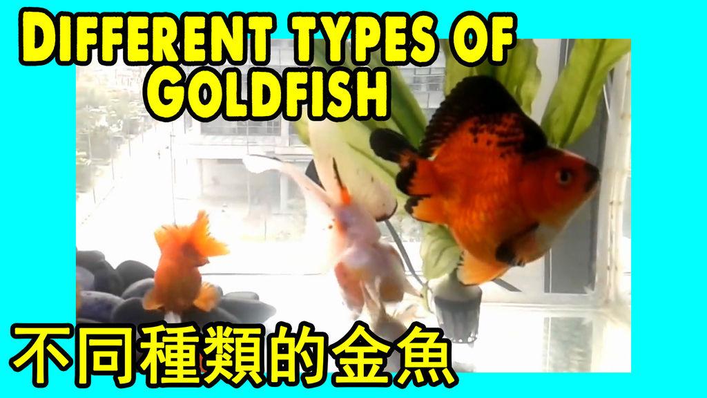Different types of Golden Fish 看看不同種類的金魚.jpg