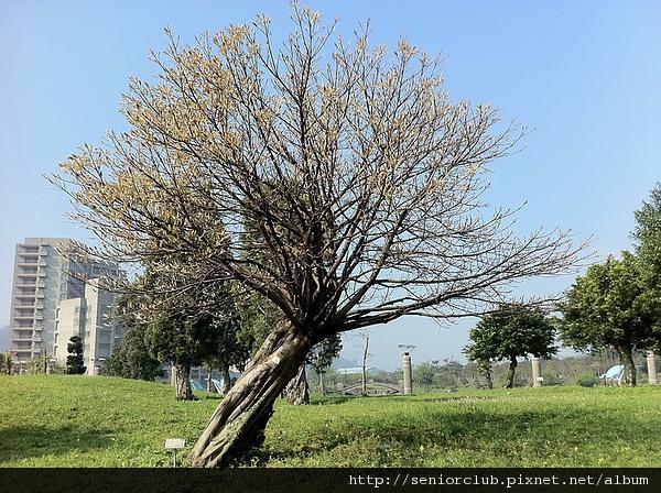 台北大學樹種 (160)_調整大小.jpg