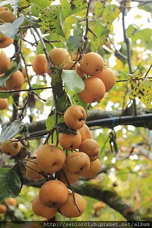 2011 Oct 24 梅峰水果 (14)_調整大小.JPG