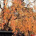 2011 Nov 10 角館 (36)_調整大小.JPG