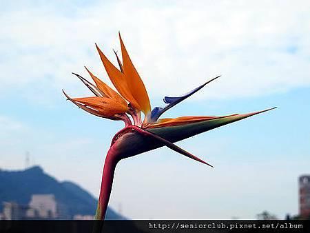 2011 北大植物 天堂鳥_02_調整大小.JPG