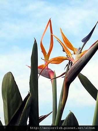 2011 北大植物 天堂鳥_05_調整大小.JPG