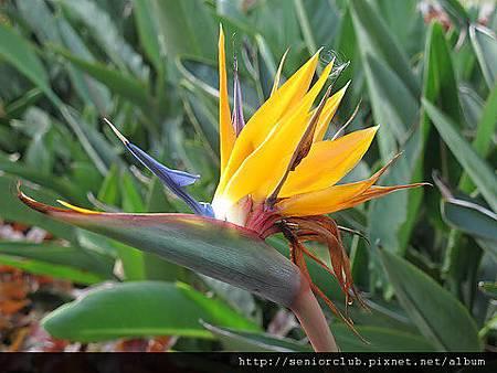 2011 北大植物 天堂鳥_08_調整大小.JPG