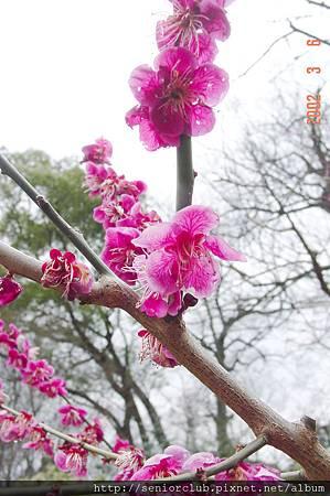 京都梅園  (2)