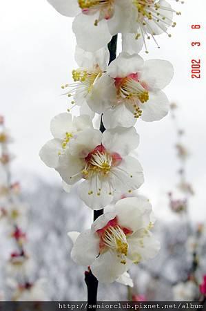 京都梅園  (3)