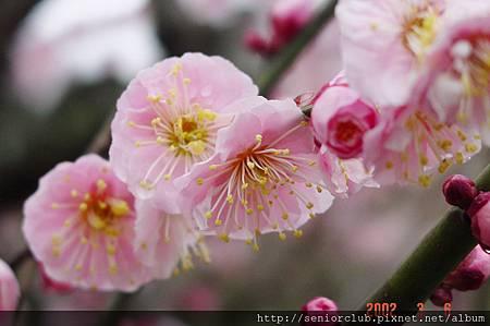 京都梅園  (4)