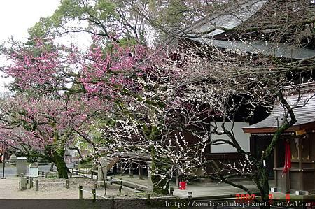 京都梅園  (8)