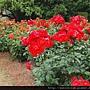 2010 京都植物園 玫瑰 (2)_調整大小