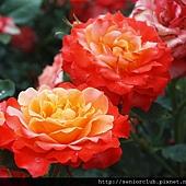 2010 京都植物園 玫瑰 (10)_調整大小