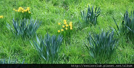 2013 April Kew Garden 百合水仙 (5)_調整大小