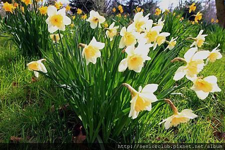 2013 April Kew Garden 百合水仙 (34)_調整大小