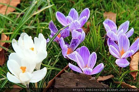 2013 April Kew Garaden 番紅花 (21)_調整大小