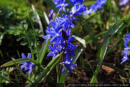 2013 April Kew Garden_Scilla verna_06_調整大小