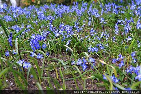 2013 April Kew Garden_Scilla verna_12_調整大小