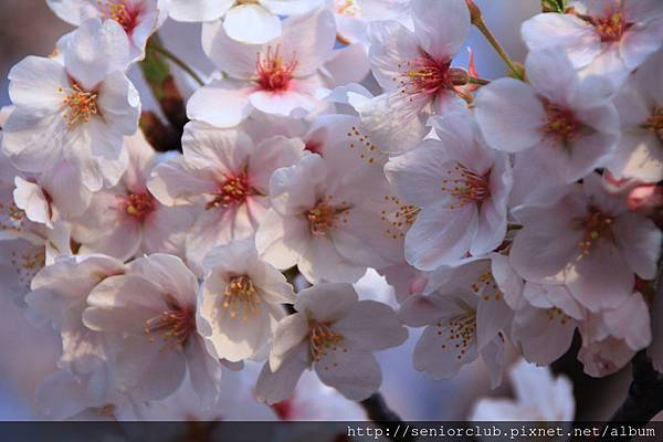 2014 april 2 日本淺草賞櫻  - 081.jpg