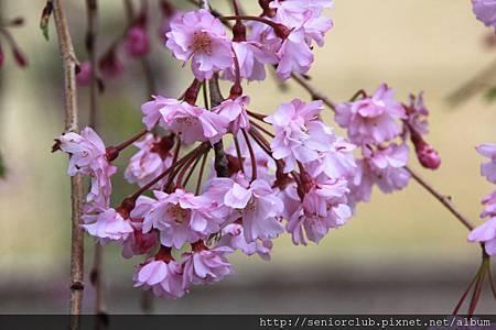 2014 april 5 日本神代植物園賞櫻  - 599.jpg