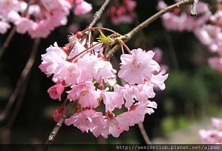 2014 april 5 日本神代植物園賞櫻  - 477.jpg