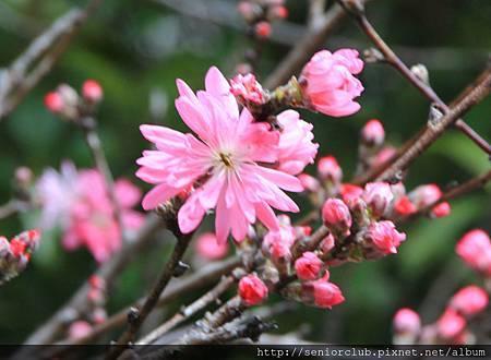 2014 April 神代植物園櫻花 - 144.jpg