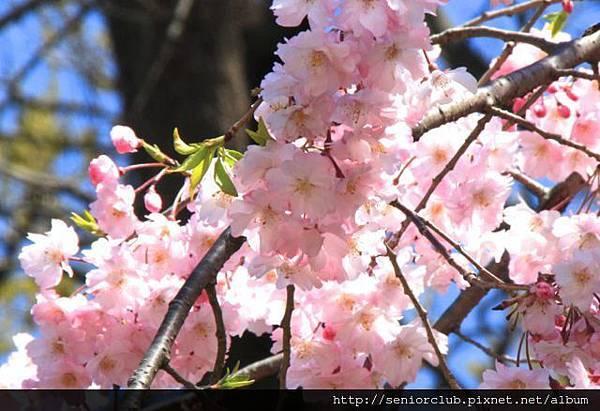2014 April 神代植物園櫻花 - 068 - 版本2