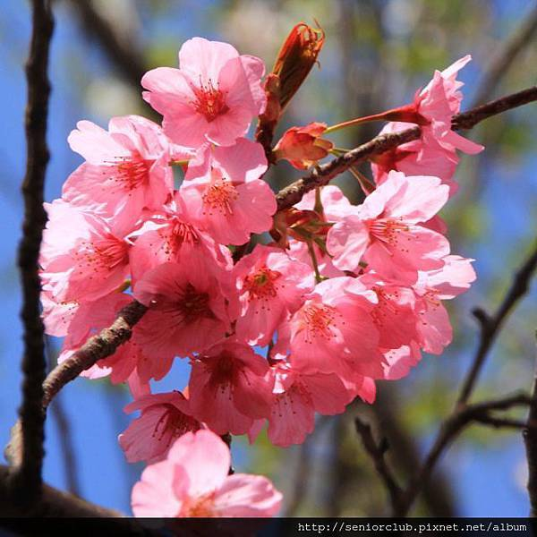 2014 April 神代植物園櫻花 - 115