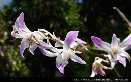 2014 Auguest bali orchid garden (4)