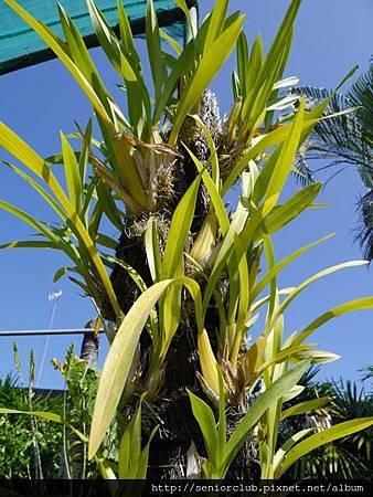 2014 Auguest bali orchid garden (17)