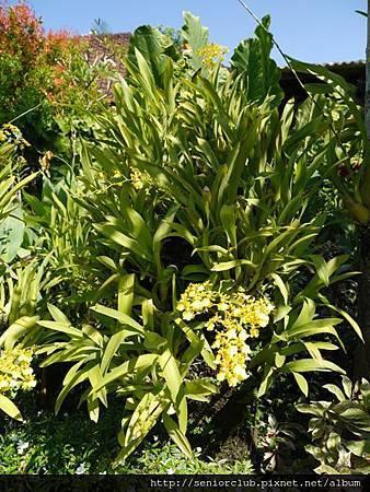 2014 Auguest bali orchid garden (37)