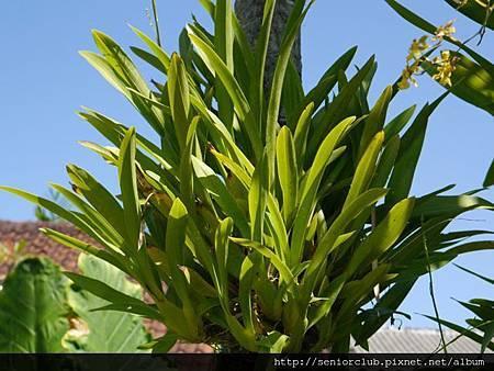 2014 Auguest bali orchid garden (42)