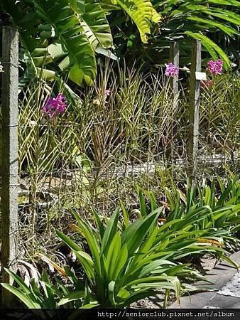 2014 Auguest bali orchid garden (58)