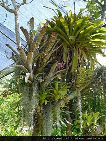 2014 Auguest bali orchid garden (96)