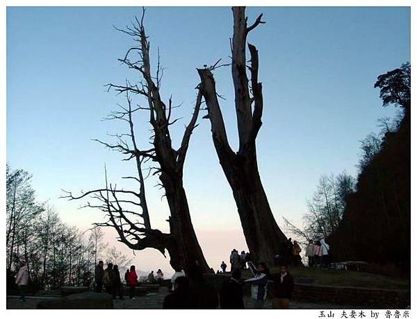 玉山 夫妻樹