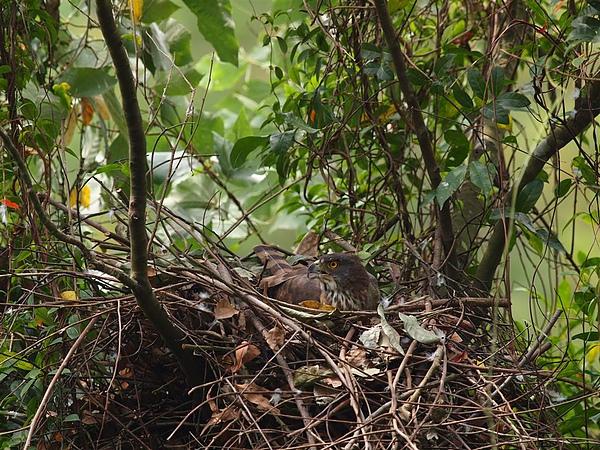 孵蛋中的鳳頭蒼鷹
