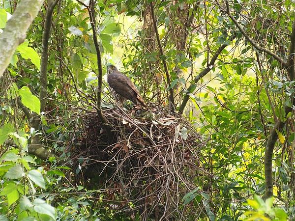 站在巢上警戒的鳳頭