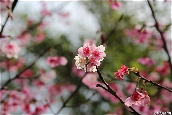 花園新城櫻花- (5).JPG