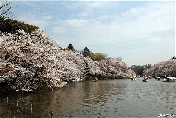2013 東京賞櫻- (11)