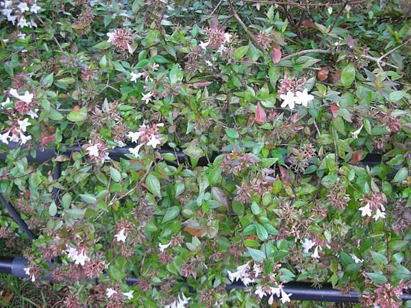 台場海濱公園旁的小花兒