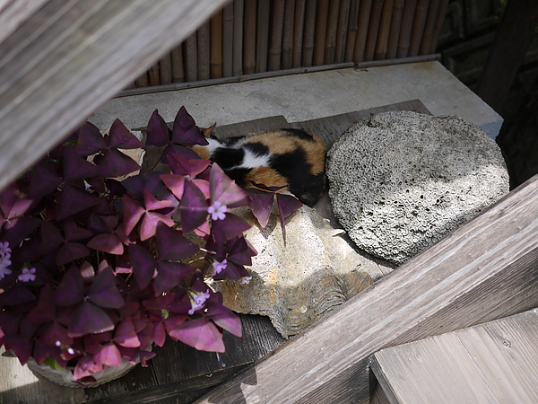 茶屋樓梯旁躲著隻愛睏小花貓