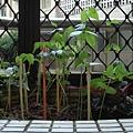 親手播種的綠豆