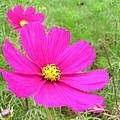 清境農場花朵.JPG