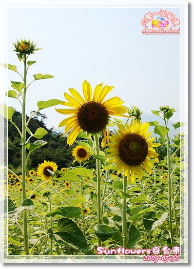 台東路邊的花.jpg.jpg