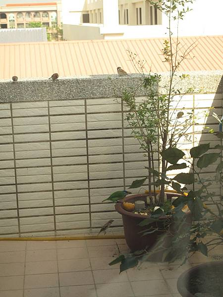 104.12.29-五色鳥 (13)