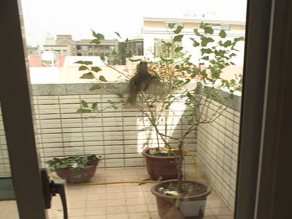 白頭翁撞門 (2)