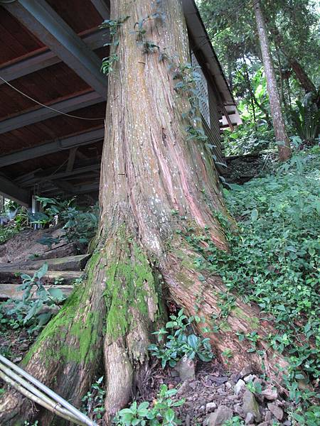 106.05.26-阿源茶園之行 百年檜杉